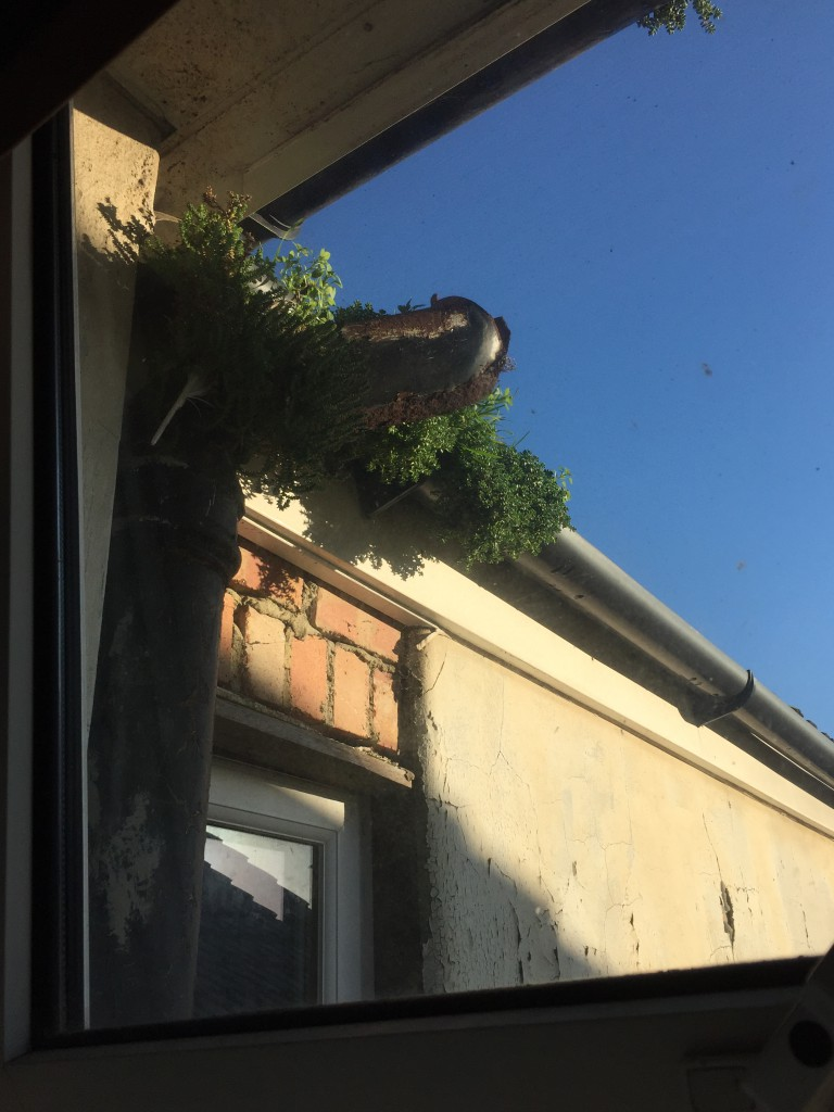 Growing in the guttering